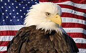 American Flag Portrait Eagle
