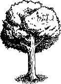 Vector Illustration of an Oak Tree