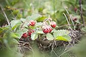 Strawberry (wild)