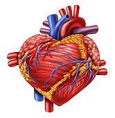 Human Heart Love