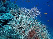 coral reef with sea whip