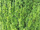 Close up of green juniper tree need