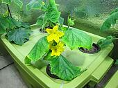 Cucumber hydroponic plants in green