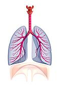 Transparent human lungs anatomy