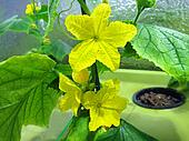 Cucumber hydroponic plant