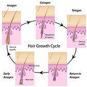 Hair growth cycle, eps10