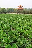 green chinese cabbage in the fields
