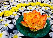 Orange water lily on lots of white Plumeria