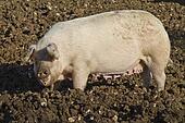 Happy adult female pig rooting in mud