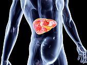 Internal Organs - Liver