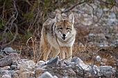coyote looking