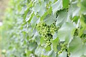 Green grapes in a vineyard for wine industry.