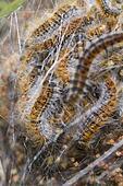 Pine Processionary (Thaumetopoea pityocampa) caterpillars