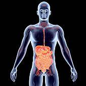 Internal Organs - Intestines