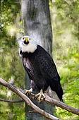 Bald Eagle on a Tree Limb