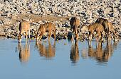 Greater Kudu cows and calves