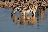 Zebra drinking water, Okaukeujo waterhole