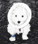 Westie in a cone