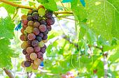 grape on tree