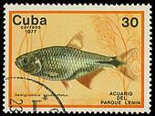 CUBA-CIRCA 1977: A stamp printed in Cuba shows fish Hemigrammus caudavittatus, circa 1977