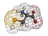 Selenocysteine (Sec, U) amino acid, molecular model.