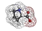 Proilne (Pro, P) amino acid, molecular model.
