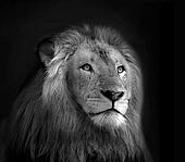 Royal King Lion Black and White Isolated Portrait