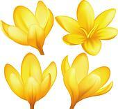 Vector yellow crocuses