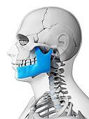 Highlighted - jaw bone