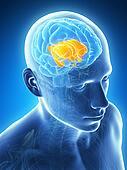 Inner brain parts