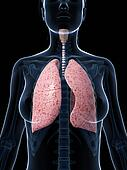 Female lung