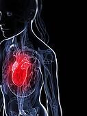 Female heart