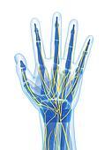 Human hand nerves
