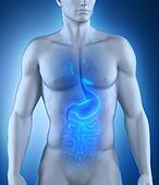 Digestive organ anatomy