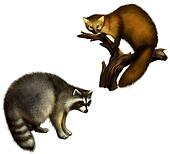 Marten and Raccoon
