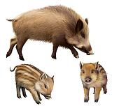 Boar familly, two little piglets and mother pig