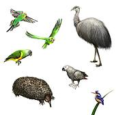 Ostrich Emu, budgies,Grey Parrot, green Parrot, echidna. Australian birds and animal.