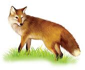 Adult shaggy red Fox standing in the grass.