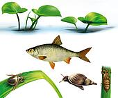 Water life: realistic Illustration on white baxkground: water bug, snail, dragonfly, larvae, gudgeon fish and water plants.