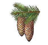 fir branches, fir-tree, cone.
