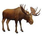 Moose. Adult male elk.