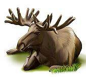 Moose resting. Male adult moose with big horns.