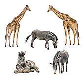 Giraffe and zebra, standing, laying, eating grass