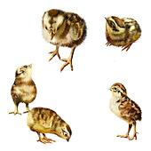 New born chicks in different poses