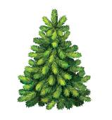 Yung green Pine tree. christmas tree