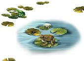 pond, Forgs sitting on a lilly leaves in a puddle. Water lily leaves. Isolated