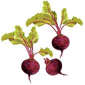 Vegetable beet isolated on white background