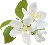 White apple flowers