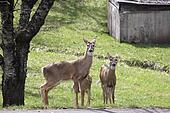Three Whitetail Deer