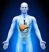 Medical Imaging - Organs - Liver